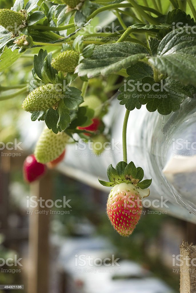 red fresh strawberry royalty-free stock photo