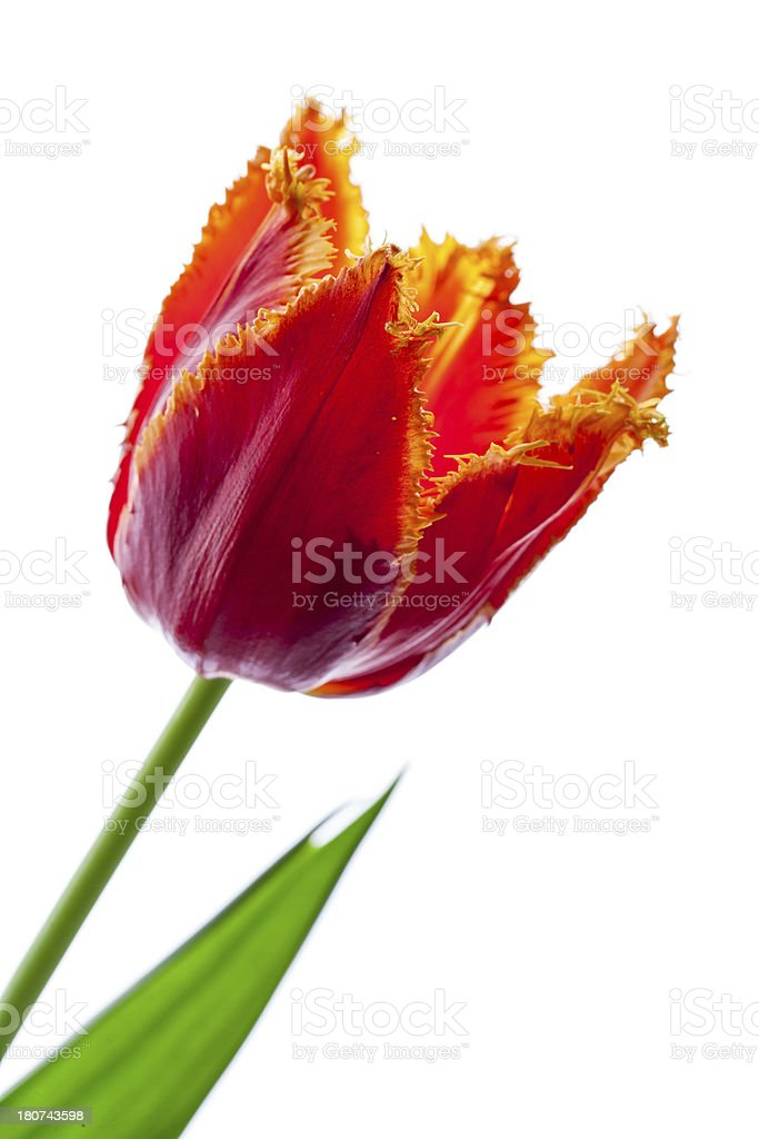 Red Fringed Tulip stock photo