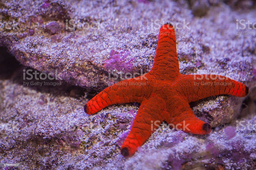Red Fromia Starfish in underwater stock photo