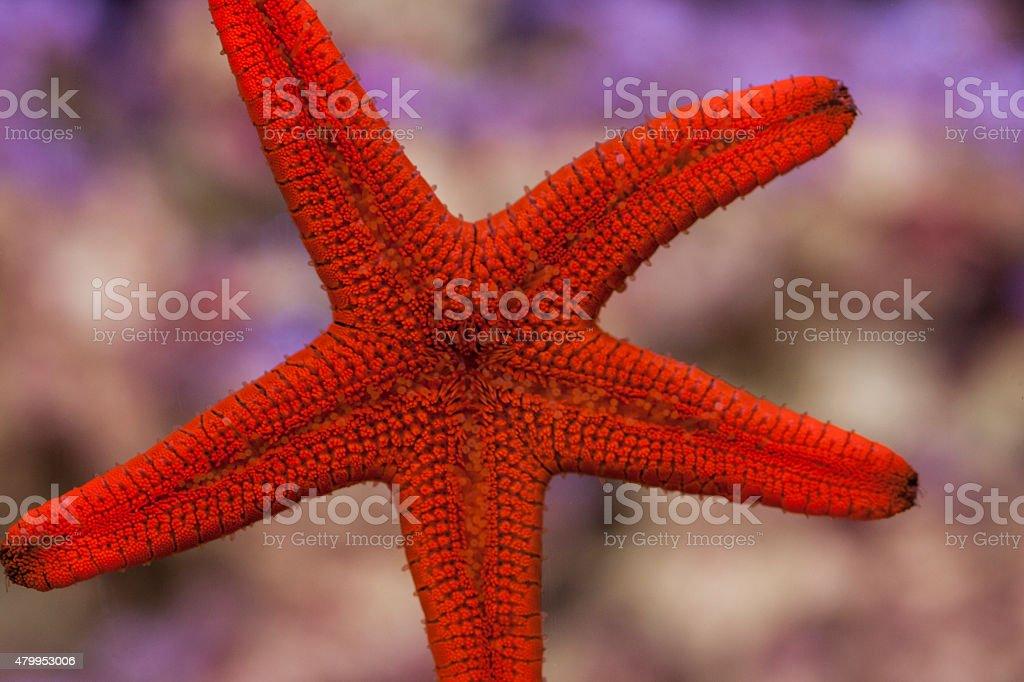 Red Fromia Starfish sticking to aquarium glass stock photo