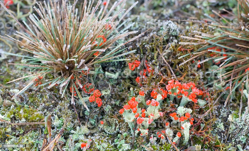 Red Fructificated Cup Lichen (Cladonia coccifera) stock photo