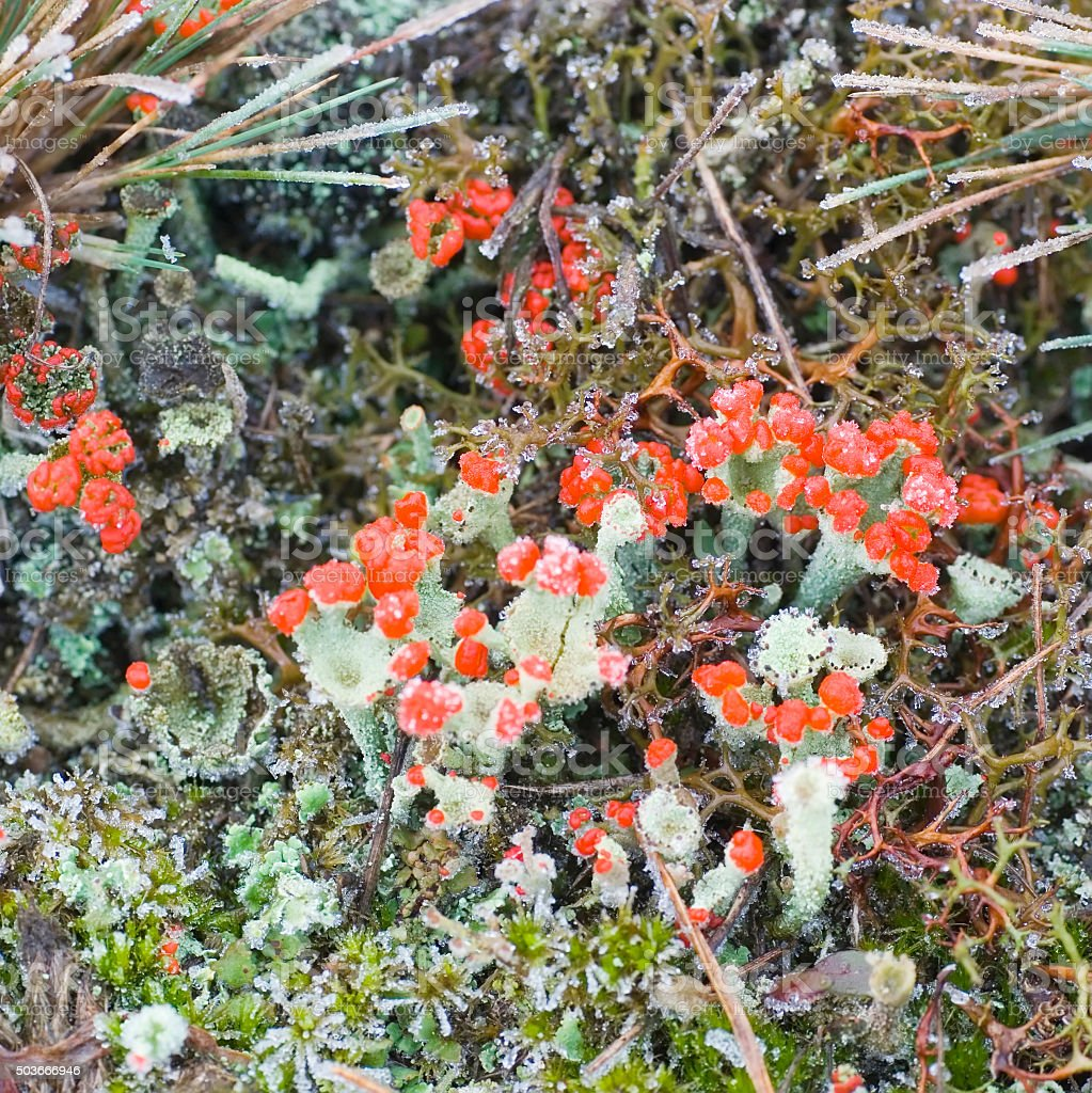 Red Fructificated Cup Lichen (Cladonia coccifera) stock photo