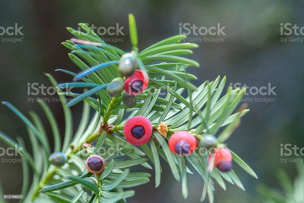 Red fruits of yew on thorny branches stock photo