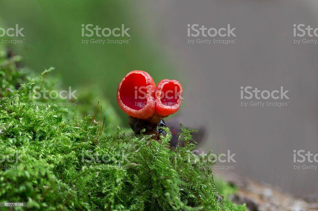 red fungi stock photo