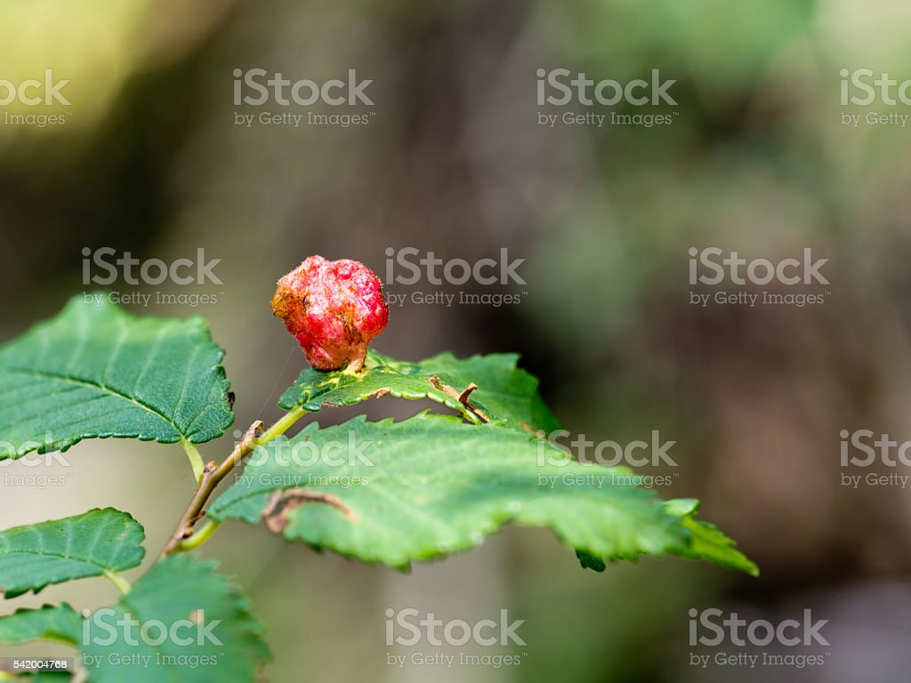 Red gall on cherry leaf stock photo