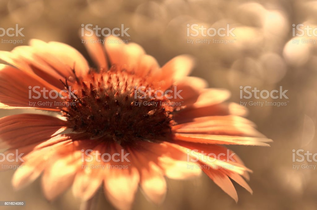 Red garden flower on a  white-brown blurred background bokeh. Close-up. Floral background. Soft focus.Bbloom in the sun. Floral background. Nature. stock photo