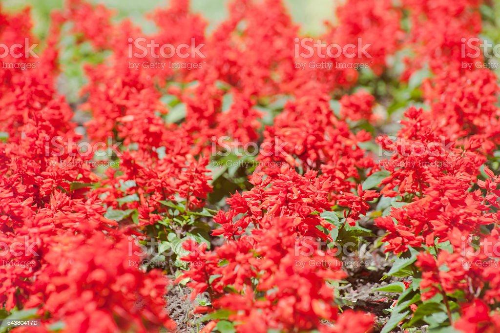 Red garden flowers full frame. stock photo