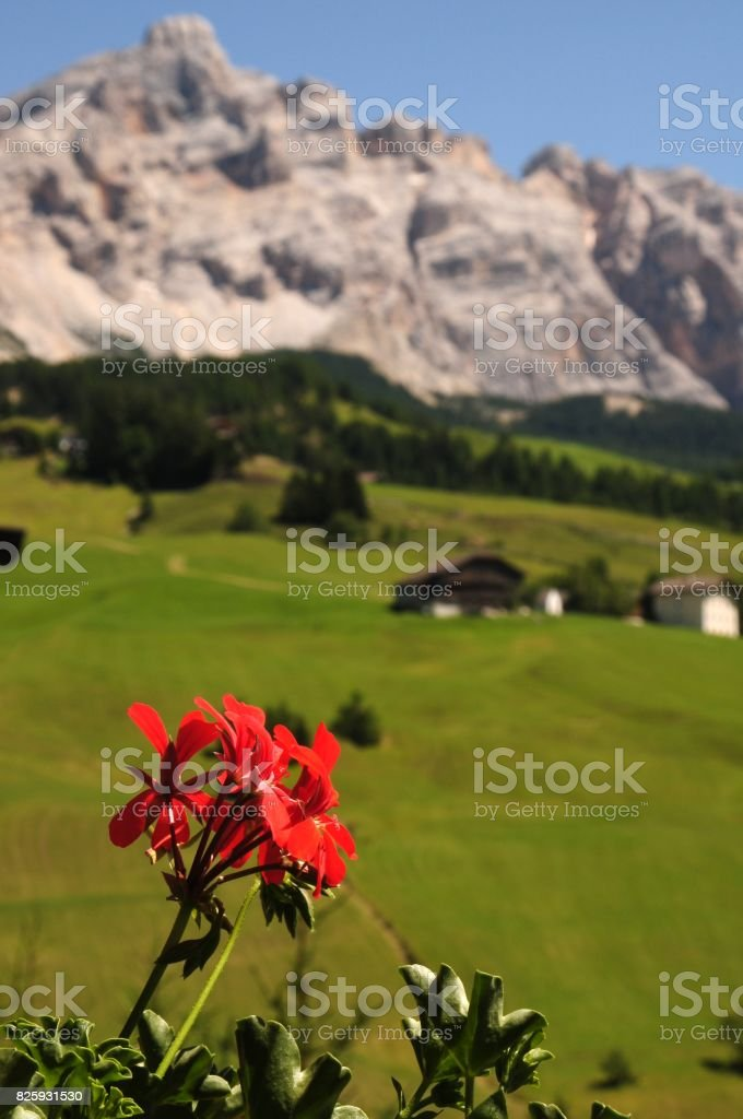 Red Geranium and Sasso della Croce on background. Italian Dolomites in Alta Badia. stock photo