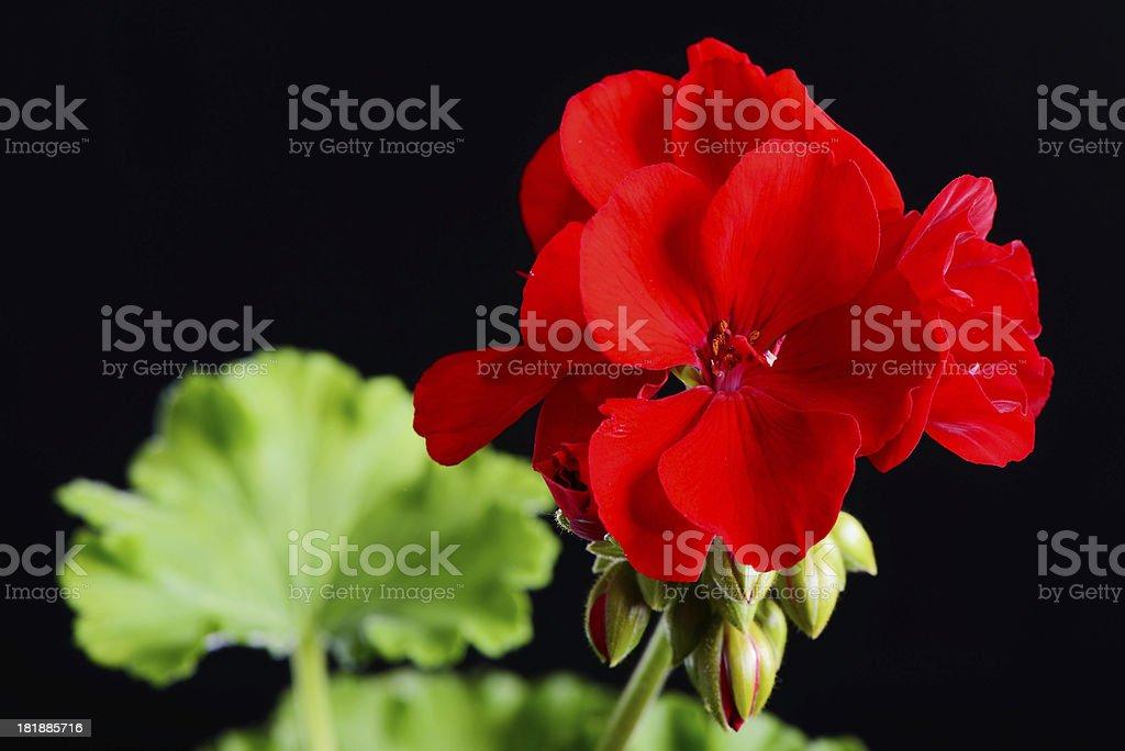 Red Geranium Flower royalty-free stock photo