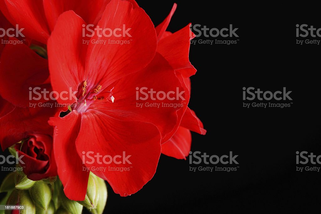 Red Geranium Flower royalty-free stock photo