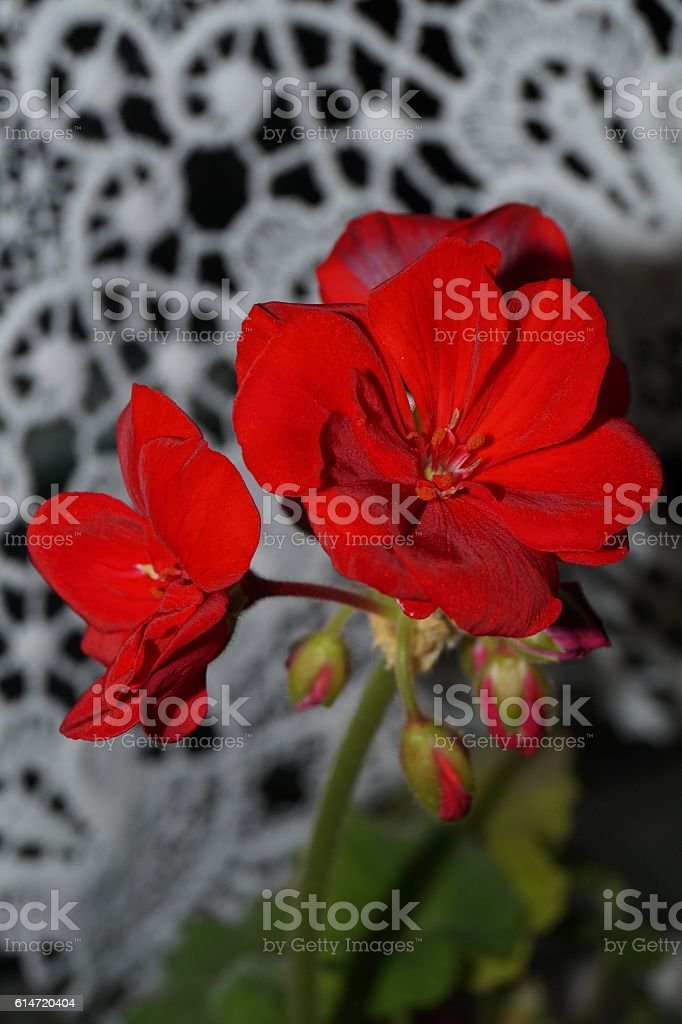 Red geraniums and white lace stock photo
