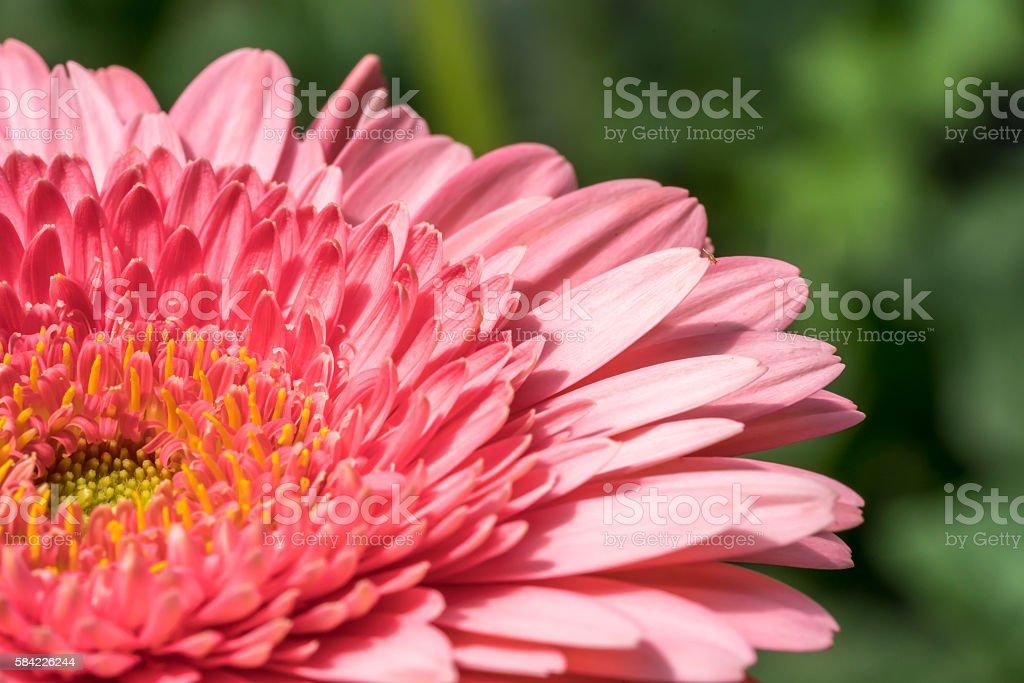 Red gerber daisy stock photo