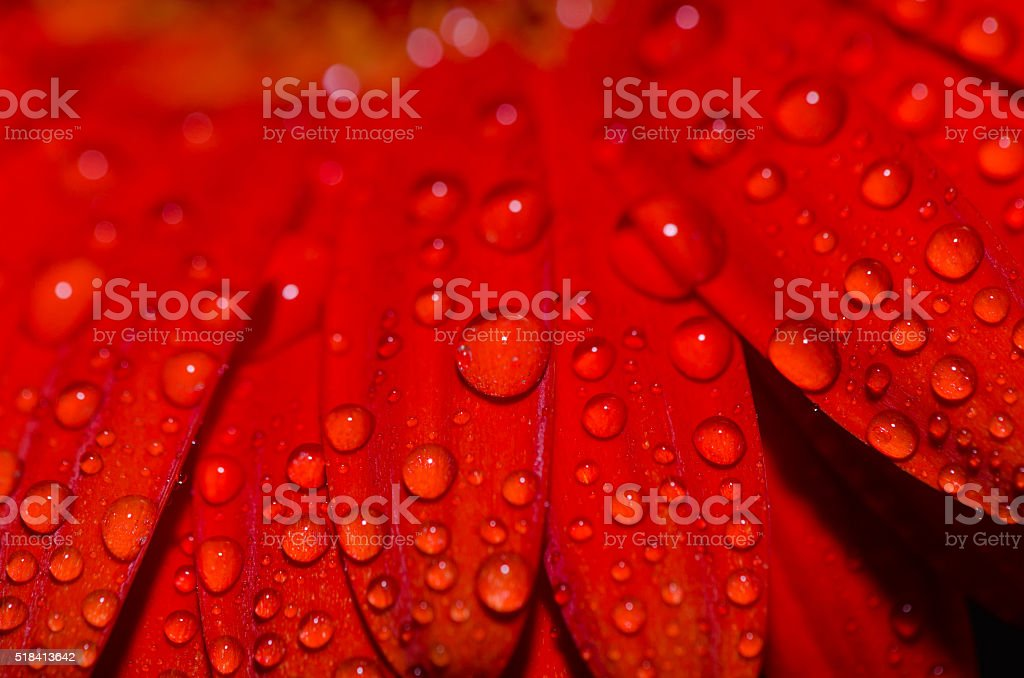 red gerbera close up with water droplets stock photo
