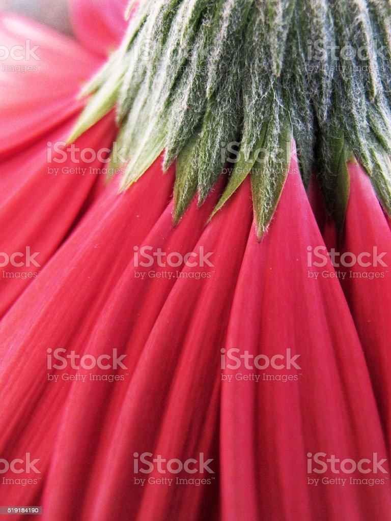 Red Gerbera daisy royalty-free stock photo