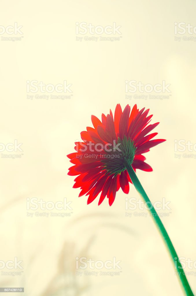 red Gerbera  flower in vintage process tone color stock photo