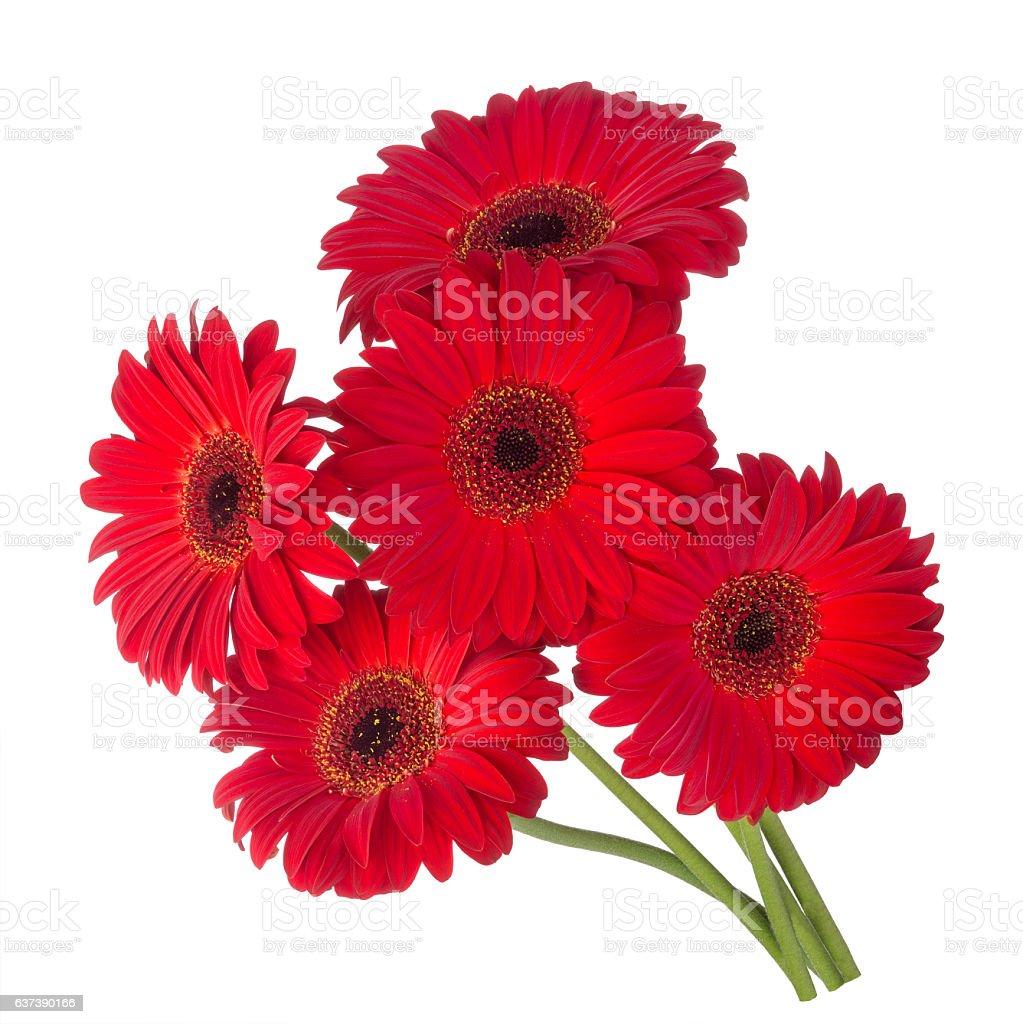 red gerbera flowers stock photo