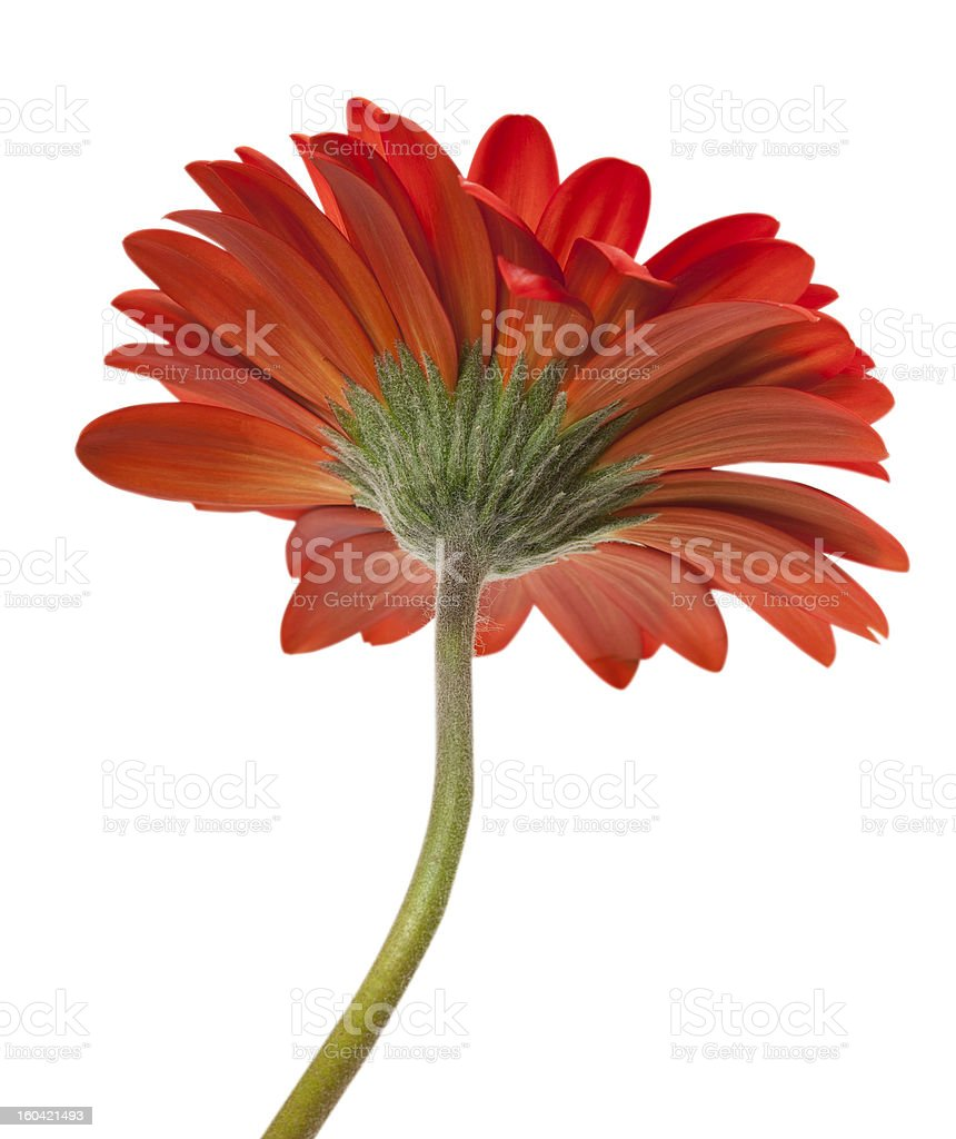 Red gerbera isolated on white background royalty-free stock photo
