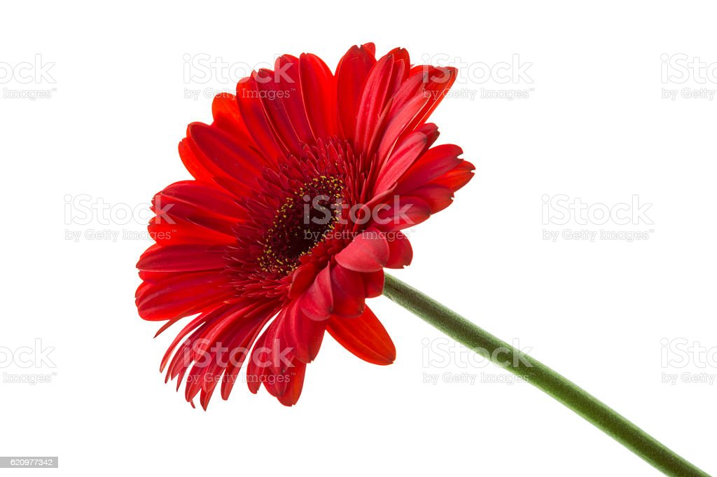 red gerbera isolated over white stock photo