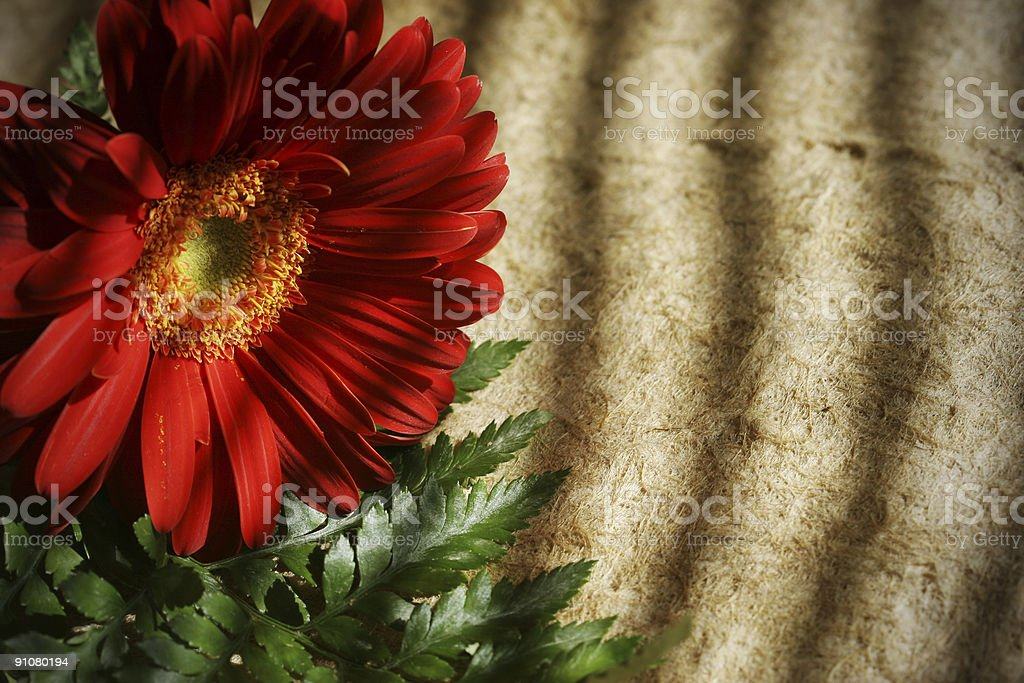 Red Gerbera royalty-free stock photo