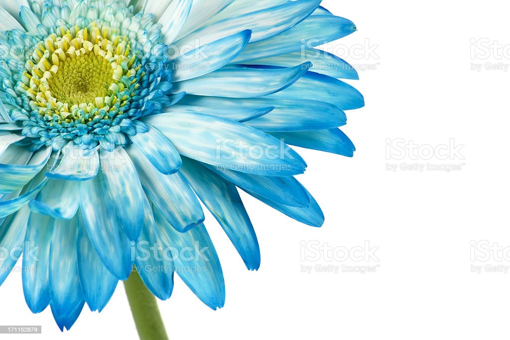 red gerbera, spring time flower beauty in nature royalty-free stock photo
