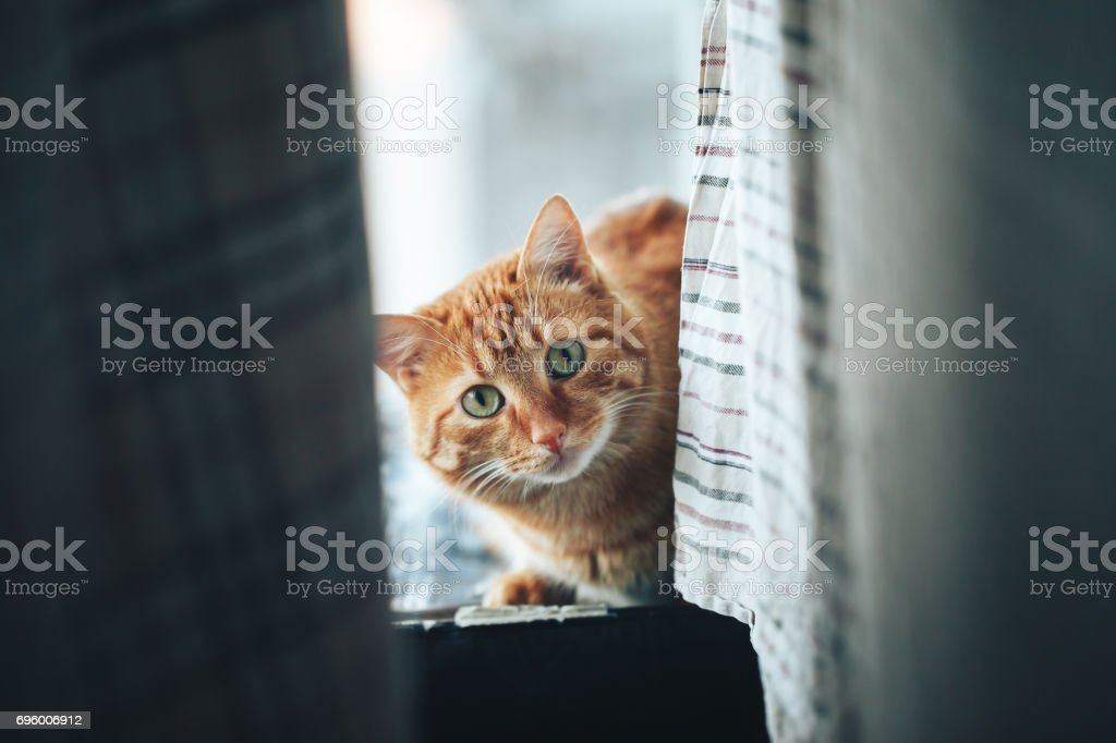 Red Ginger Cat stock photo