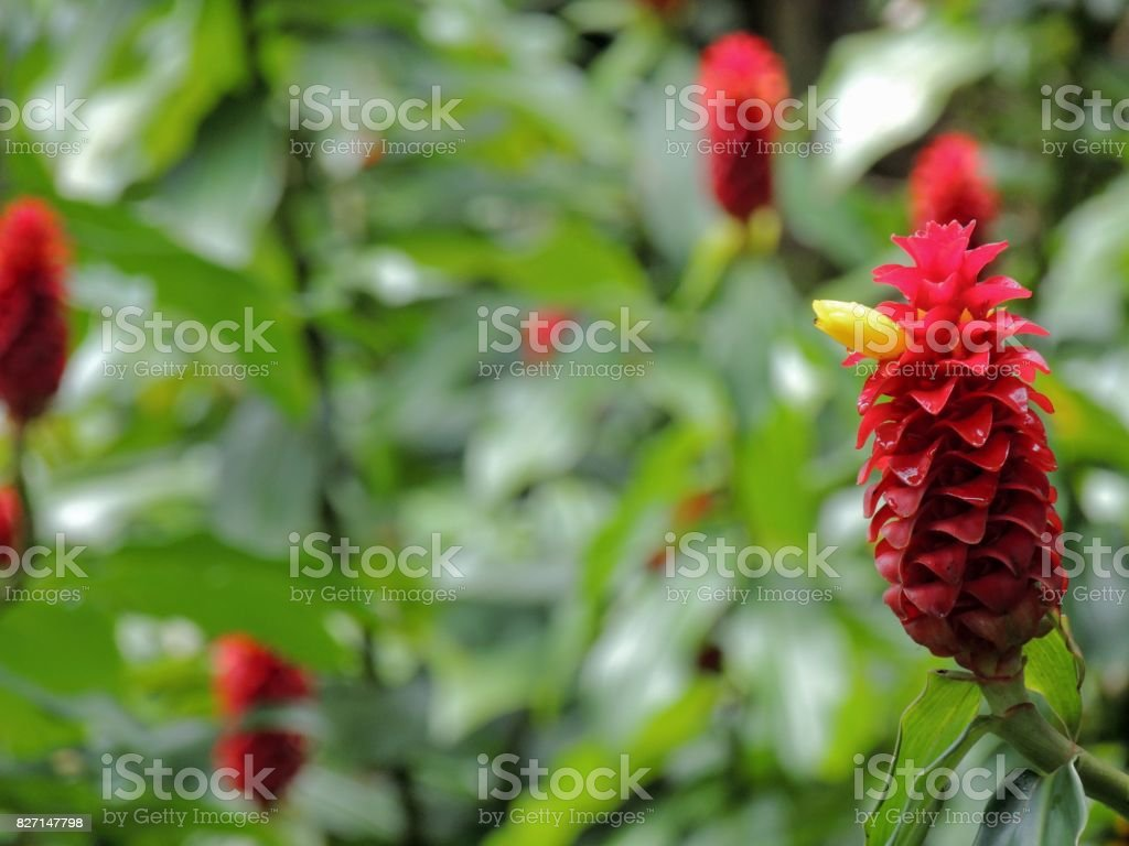 Red Ginger Flower Blooming In Vivid Color with yellow beak and blurred background stock photo