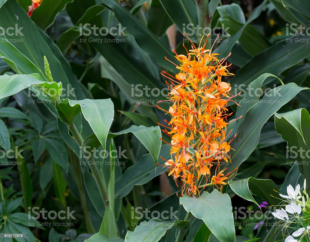 Red ginger lily Flower Hedychium coccineum Tara stock photo