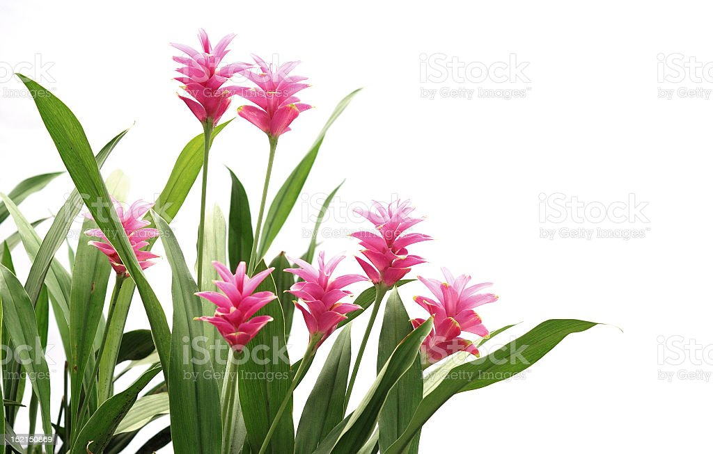 A red ginger plant with pink leaves and green stems stock photo