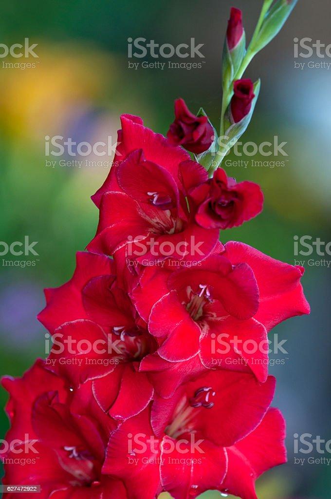 Red Gladiolas stock photo