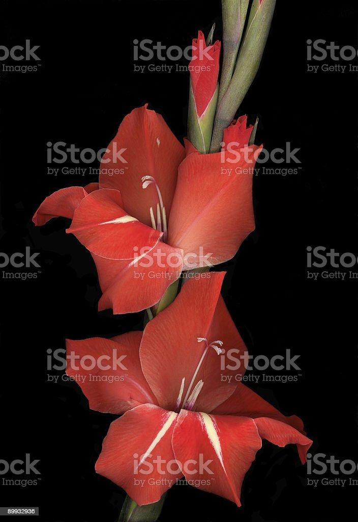 Red Gladiolas royalty-free stock photo