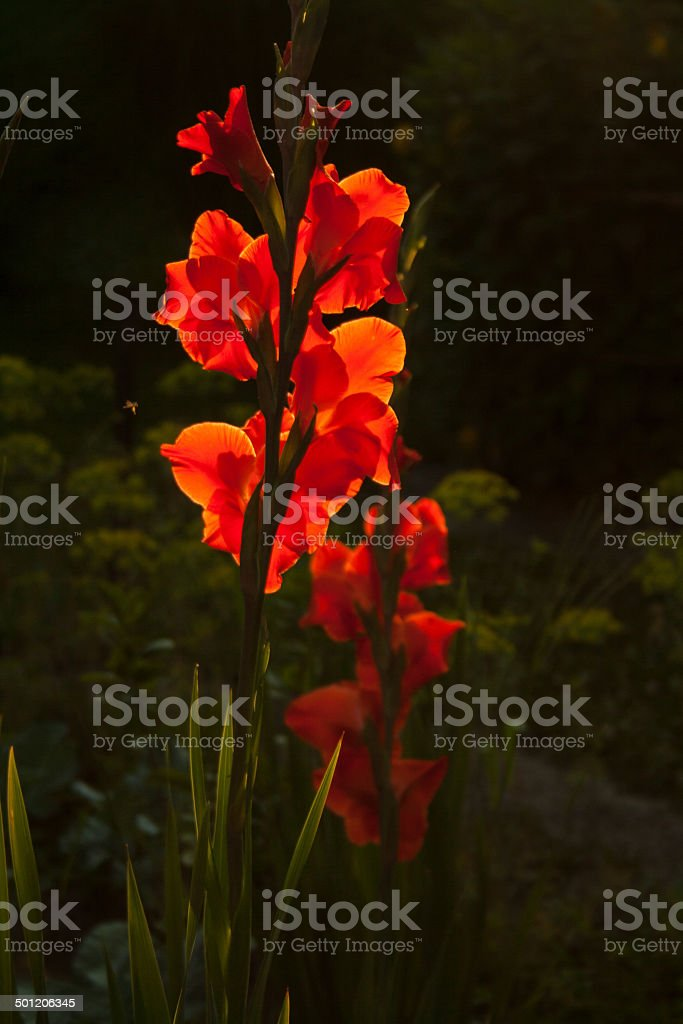 Red Gladiolus flower stock photo