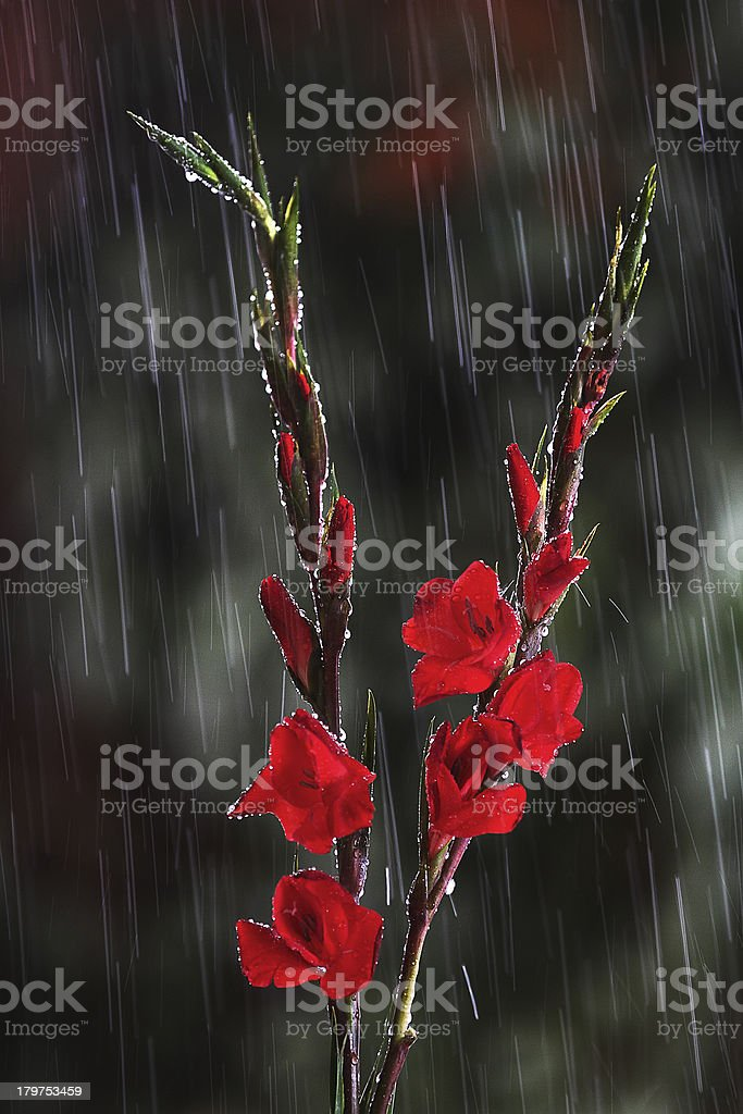 Red Gladiolus Flowers in Rain royalty-free stock photo