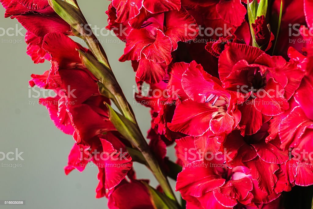 Red gladiolus flowers stock photo