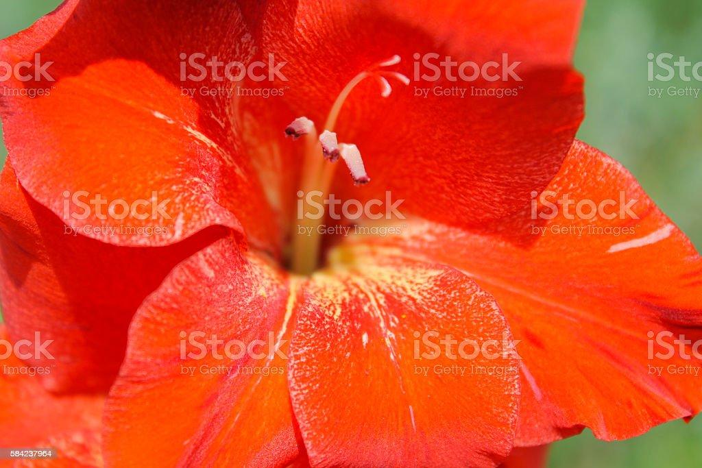 Red gladiolus in garden stock photo