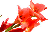 red gladiolus isolated on a white background