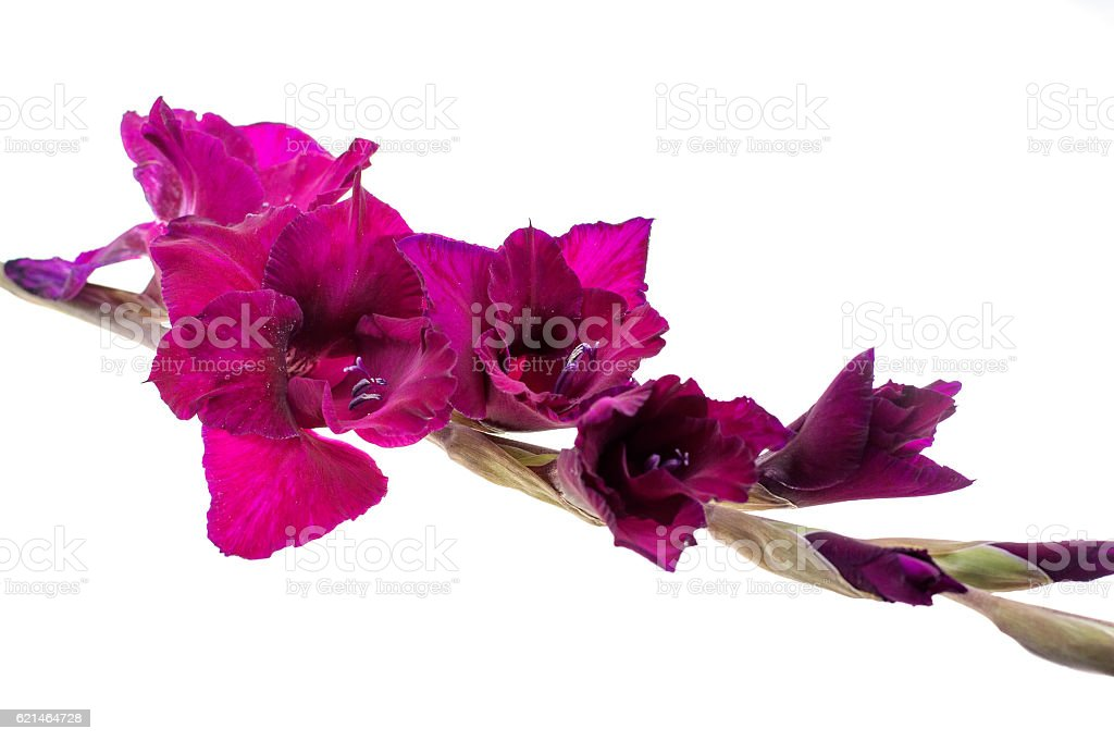 red gladiolus isolated on a white background stock photo
