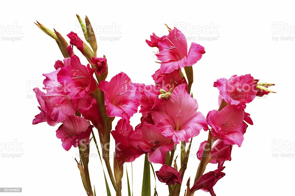 Red gladiolus isolated on the white background stock photo