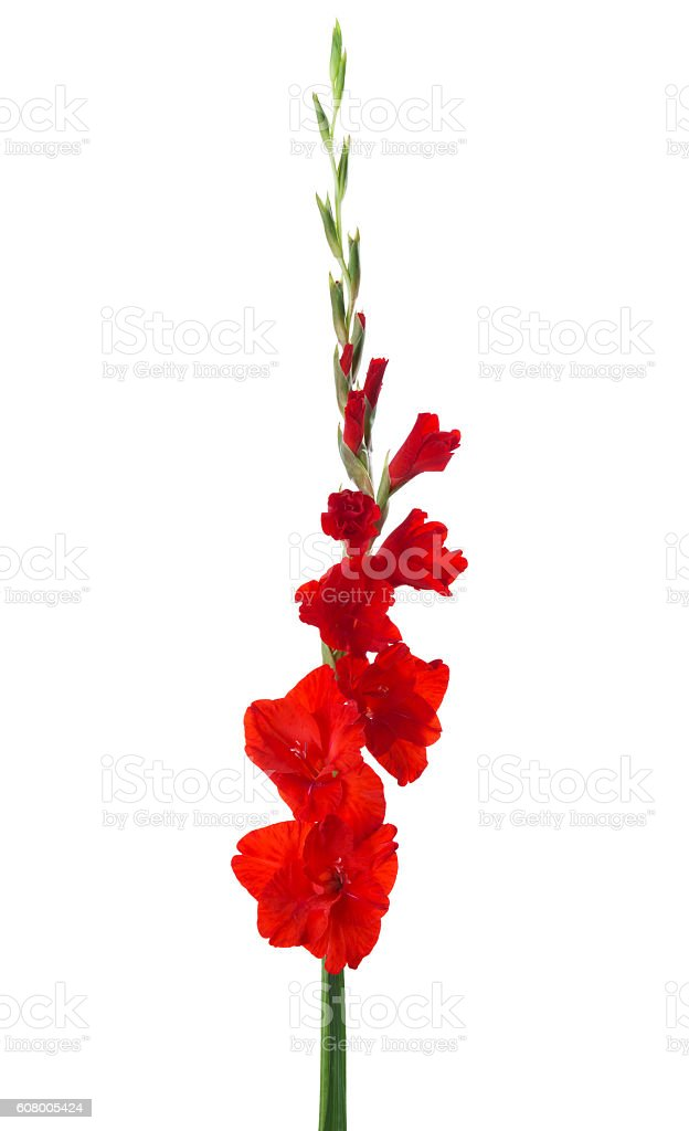 Red gladiolus isolated on white background. stock photo