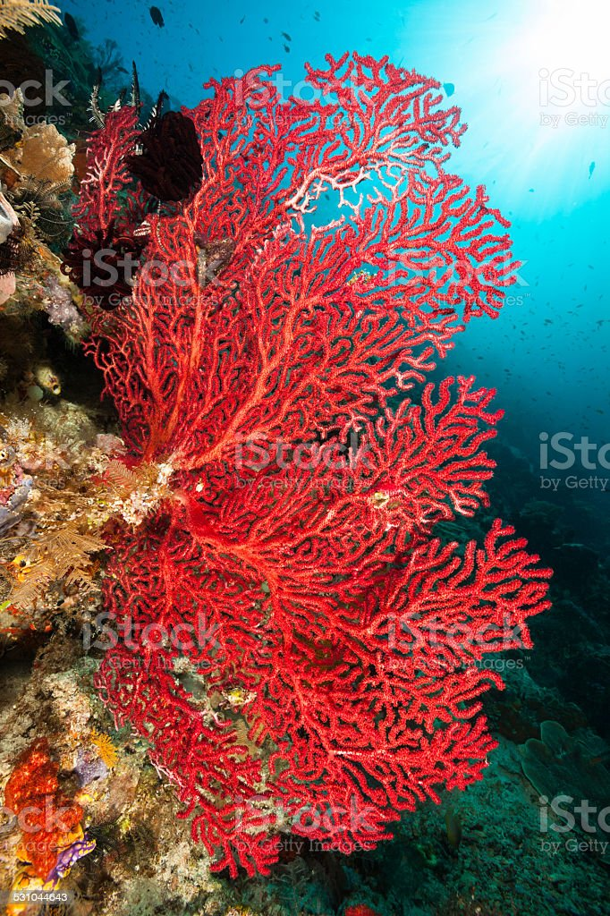 Red Gorgonian Seafan Beauty, Raja Ampat, Indonesia stock photo