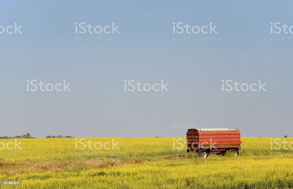 Red Grain Truck In Yellow Canola Field royalty-free stock photo