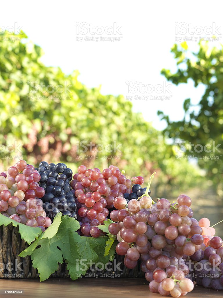Red Grape and Vineyard stock photo
