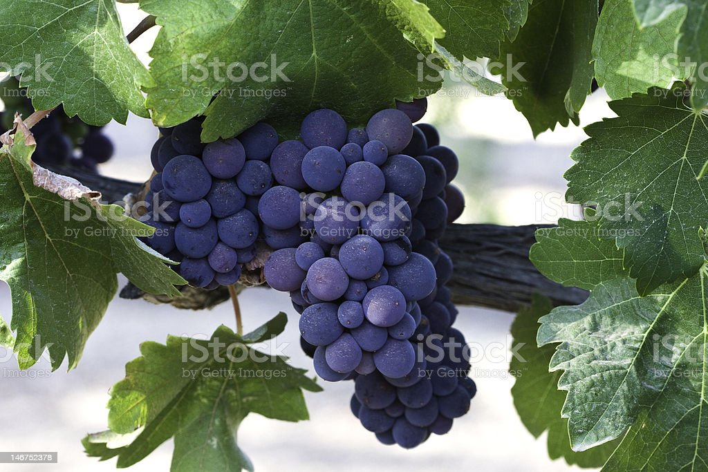 red grape cluster on vine stock photo