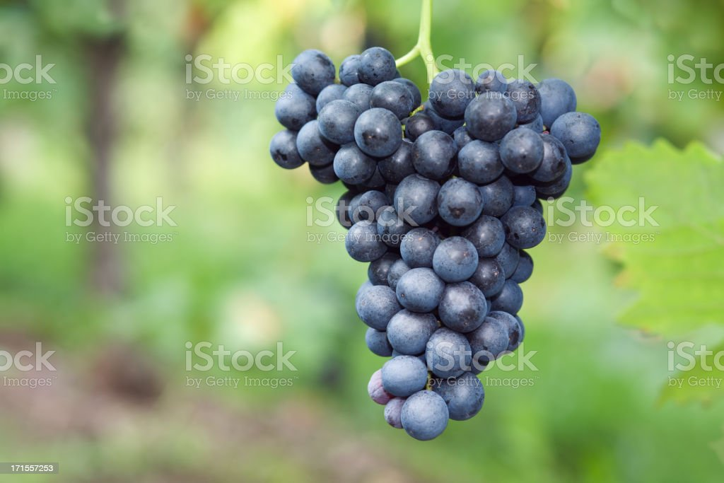 red grape cluster royalty-free stock photo