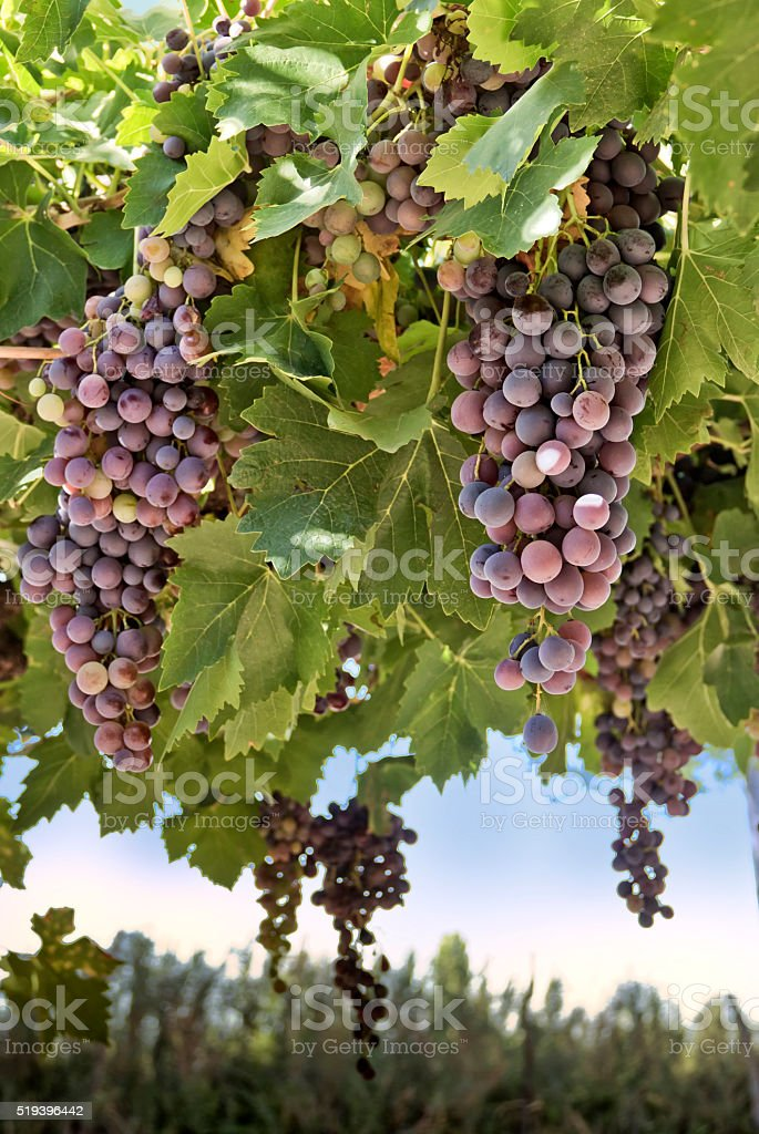 Red grape in a vineyard stock photo