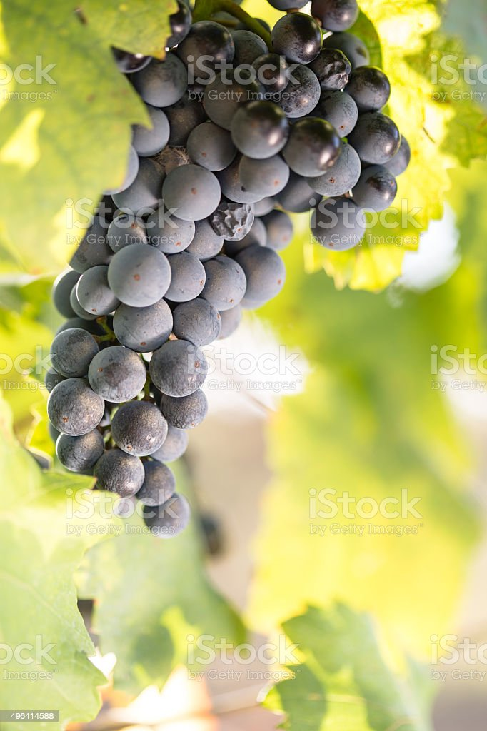Red grape in the vineyard stock photo