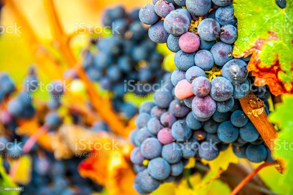 Red Grape Vine stock photo