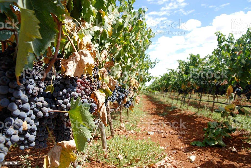 Red grape vineyard under blue skies stock photo