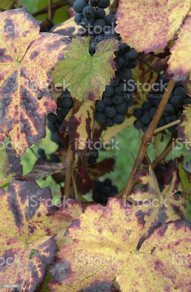 red grapes and autumn leaves royalty-free stock photo