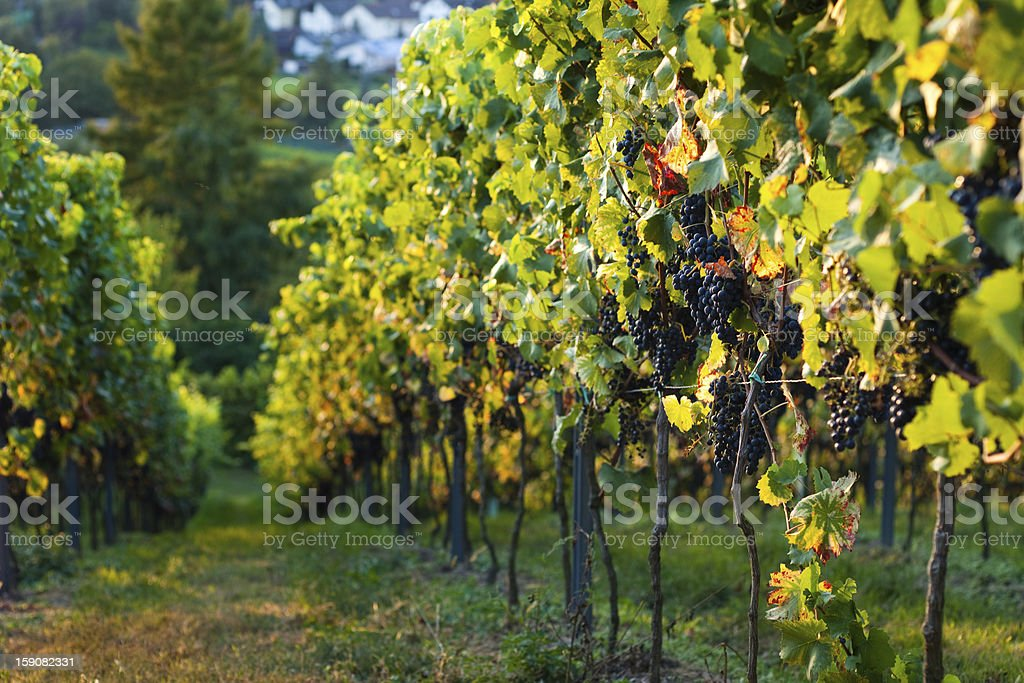 Red grapes growing royalty-free stock photo
