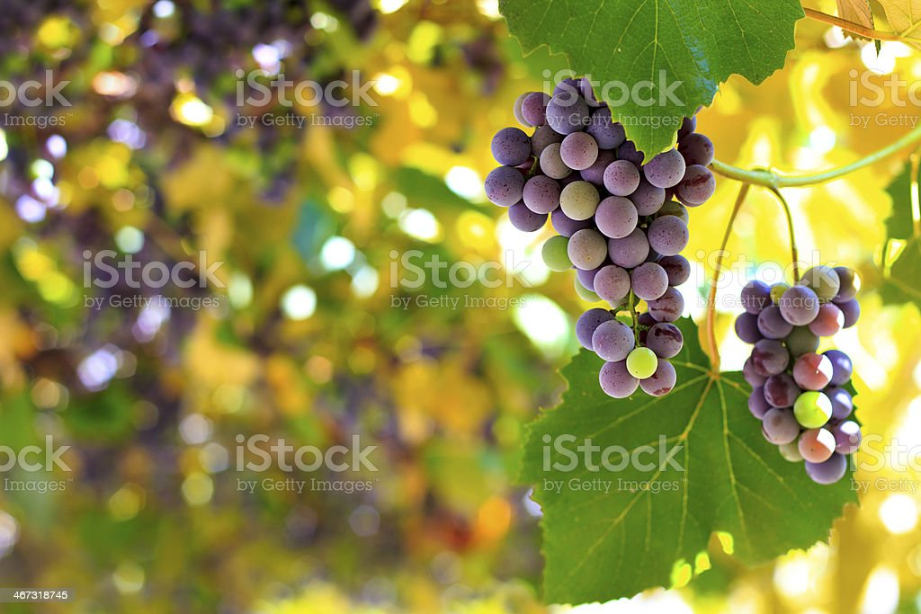 Red grapes in the vineyard stock photo